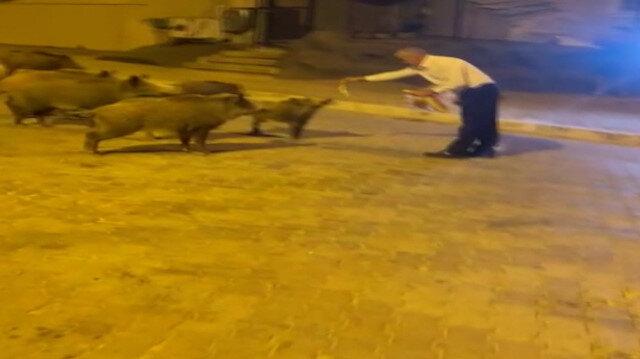Muğla'da şehre inen yaban domuzlarını vatandaşlar elleri ile besledi