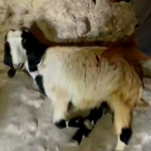 Yahudi yerleşimciler El Halilde Filistinlilerin keçilerini bıçakladı
