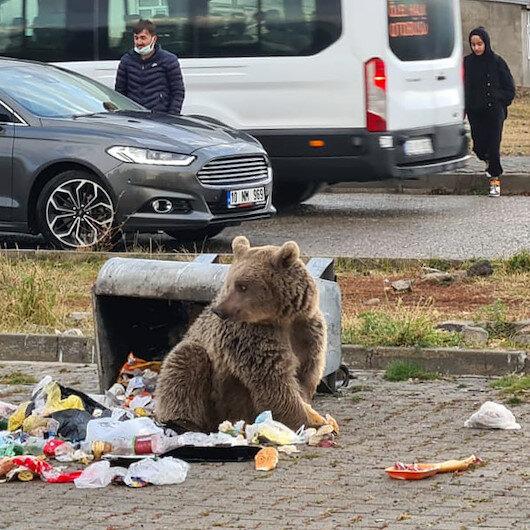Sarıkamışta aç kalan boz ayı şehre indi