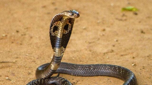 Akılalmaz olay: Eşini öldürmek için kobra kiraladı