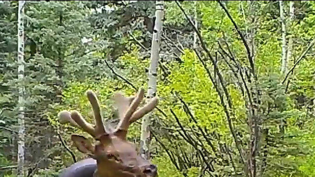 Boynunda 16 kiloluk lastikle dolaşan geyik boynuzları kesilerek kurtarıldı