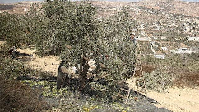 İşgalci Yahudiler zeytin toplayan Filistinlilere saldırdı: 30 işgalci bir aileyi taşladı