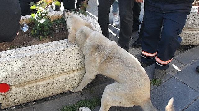 Sivas'ta ayağı beton saksıya sıkışan köpek için seferber oldular