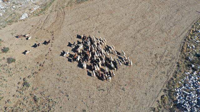 Denizli'de kaybolan küçükbaşlar drone ile bulundu