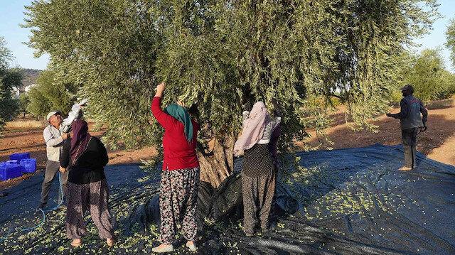 Dört bin yıllık zeytin çekirdekleri Kilisli kadınlara gelir kapısı oldu